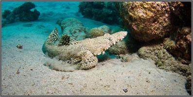 Poisson crocodile